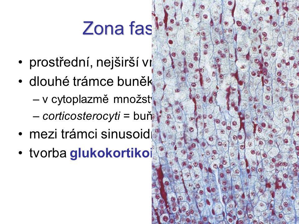 Zona fasciculata prostřední, nejširší vrstva dlouhé trámce buněk –v cytoplazmě množství tukových kapének –corticosterocyti = buňky tvořící steroidy mezi trámci sinusoidní vlásečnice tvorba glukokortikoidů a androgenů
