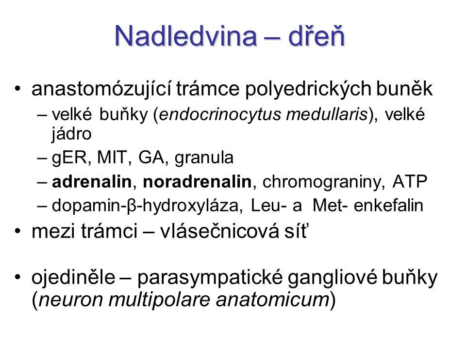 Nadledvina – dřeň anastomózující trámce polyedrických buněk –velké buňky (endocrinocytus medullaris), velké jádro –gER, MIT, GA, granula –adrenalin, noradrenalin, chromograniny, ATP –dopamin-β-hydroxyláza, Leu- a Met- enkefalin mezi trámci – vlásečnicová síť ojediněle – parasympatické gangliové buňky (neuron multipolare anatomicum)