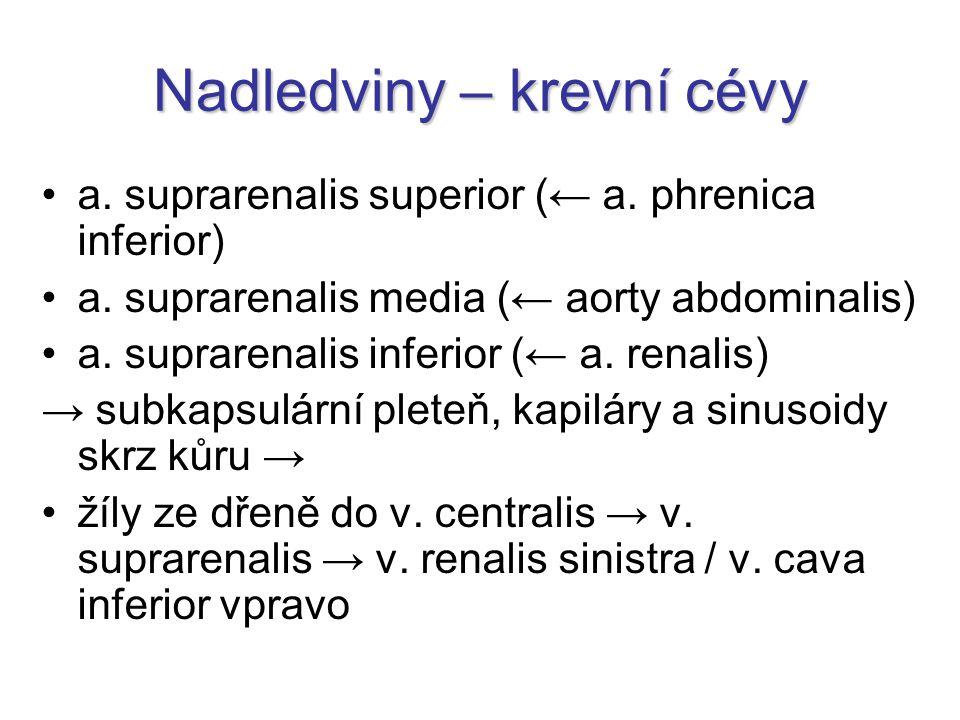 Nadledviny – krevní cévy a.suprarenalis superior (← a.