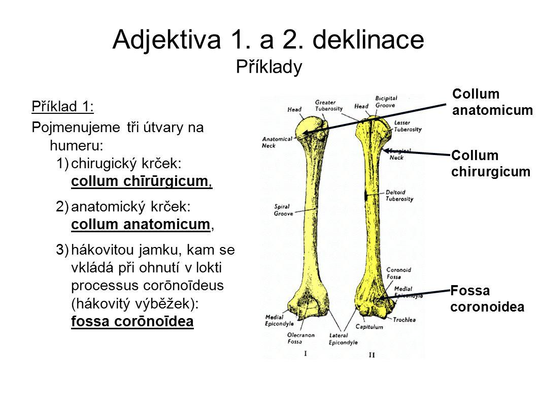 Adjektiva 1. a 2. deklinace Příklady Příklad 1: Pojmenujeme tři útvary na humeru: 1)chirugický krček: collum chīrūrgicum, 2)anatomický krček: collum a