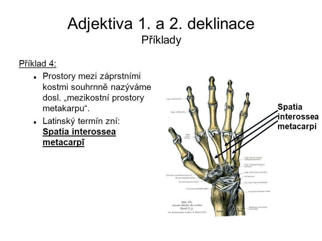 """Adjektiva 1. a 2. deklinace Příklady Příklad 4: Prostory mezi záprstními kostmi souhrnně nazýváme dosl. """"mezikostní prostory metakarpu"""". Latinský term"""