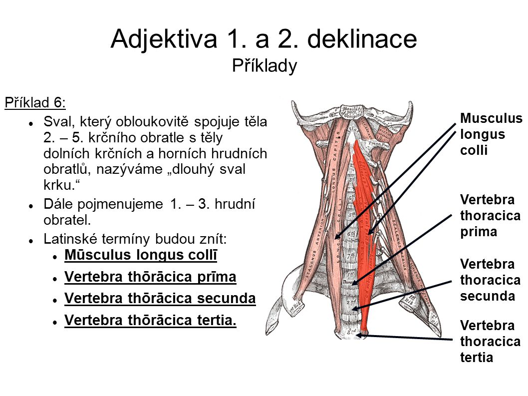 Adjektiva 1. a 2. deklinace Příklady Musculus longus colli Vertebra thoracica prima Vertebra thoracica secunda Vertebra thoracica tertia Příklad 6: Sv
