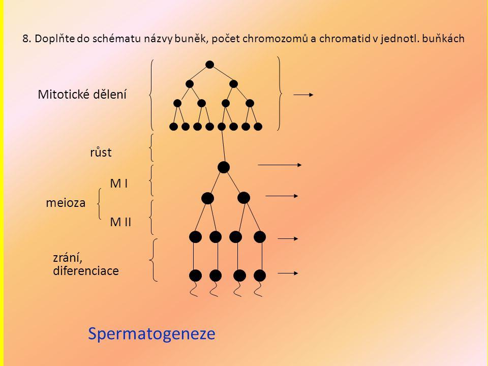 Mitotické dělení růst M I M II meioza zrání, diferenciace Spermatogeneze 8. Doplňte do schématu názvy buněk, počet chromozomů a chromatid v jednotl. b