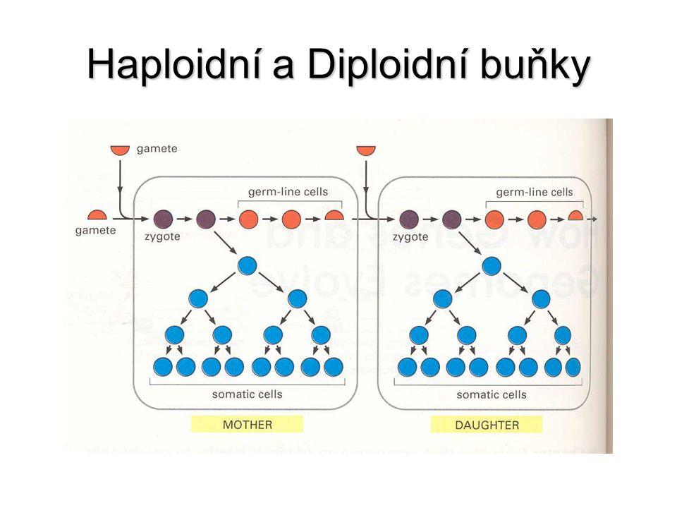 Haploidní a Diploidní buňky