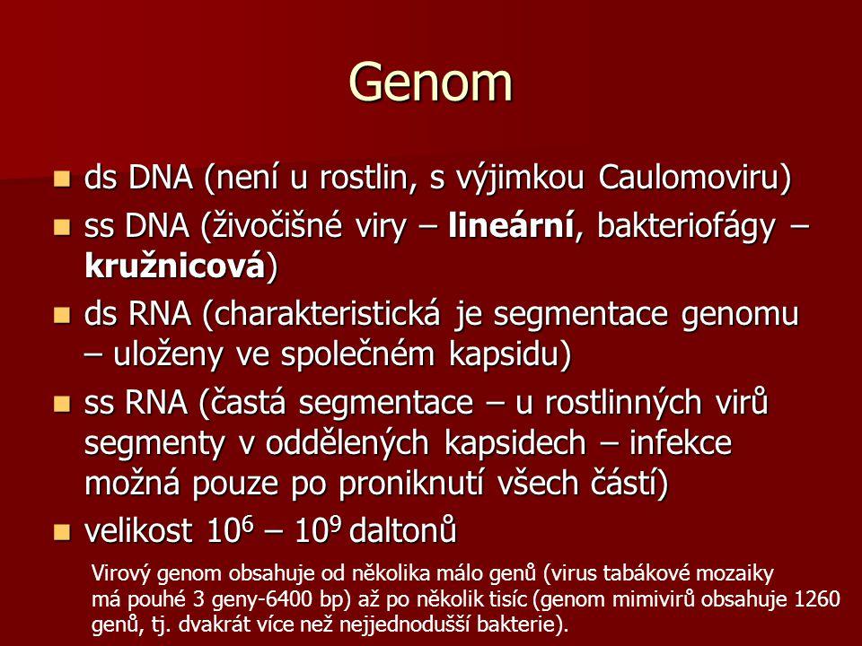Genom ds DNA (není u rostlin, s výjimkou Caulomoviru) ds DNA (není u rostlin, s výjimkou Caulomoviru) ss DNA (živočišné viry – lineární, bakteriofágy