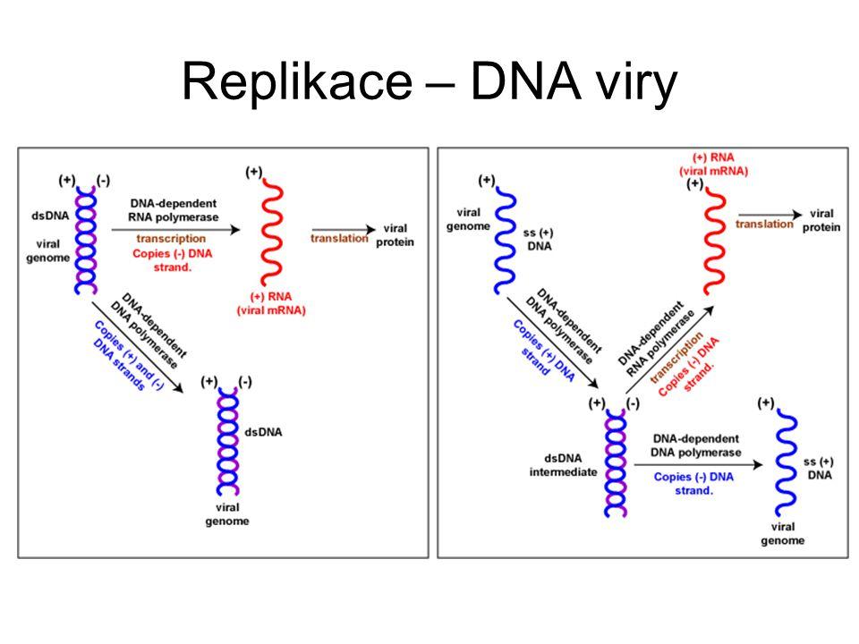 Replikace – DNA viry