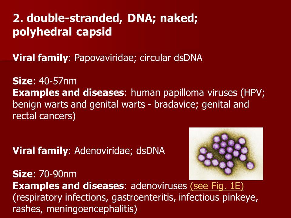 2. double-stranded, DNA; naked; polyhedral capsid Viral family: Papovaviridae; circular dsDNA Size: 40-57nm Examples and diseases: human papilloma vir