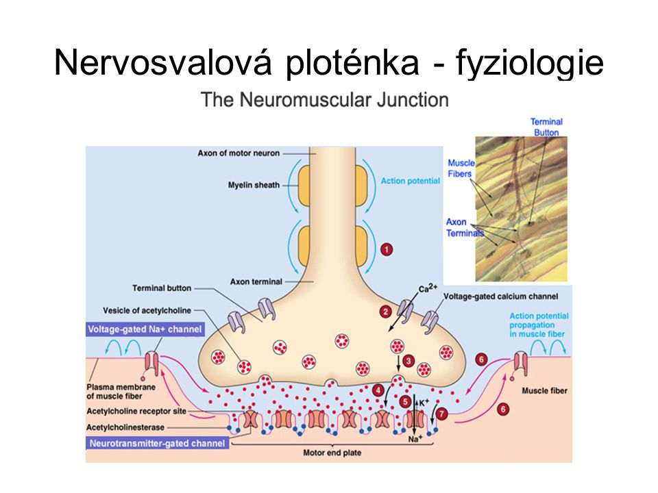 Nervosvalová ploténka - fyziologie