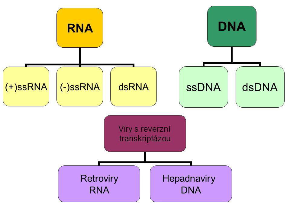RNA (+)ssRNA(-)ssRNAdsRNA DNA ssDNAdsDNA Viry s reverzní transkriptázou Retroviry RNA Hepadnaviry DNA