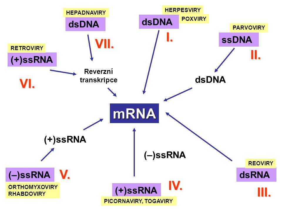 mRNA dsDNA HERPESVIRY POXVIRY I. ssDNA II. PARVOVIRY dsDNA dsRNA III. REOVIRY IV. (+)ssRNA PICORNAVIRY, TOGAVIRY (–)ssRNA (+)ssRNA V. ORTHOMYXOVIRY RH