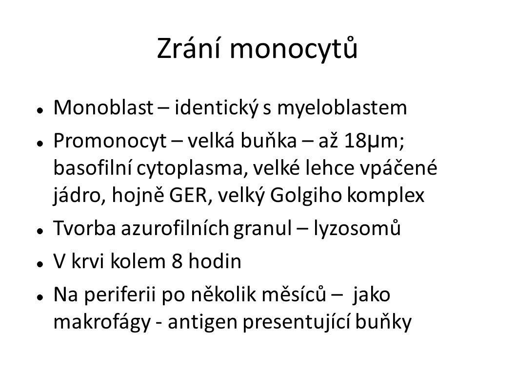 Zrání monocytů Monoblast – identický s myeloblastem Promonocyt – velká buňka – až 18 μ m; basofilní cytoplasma, velké lehce vpáčené jádro, hojně GER,
