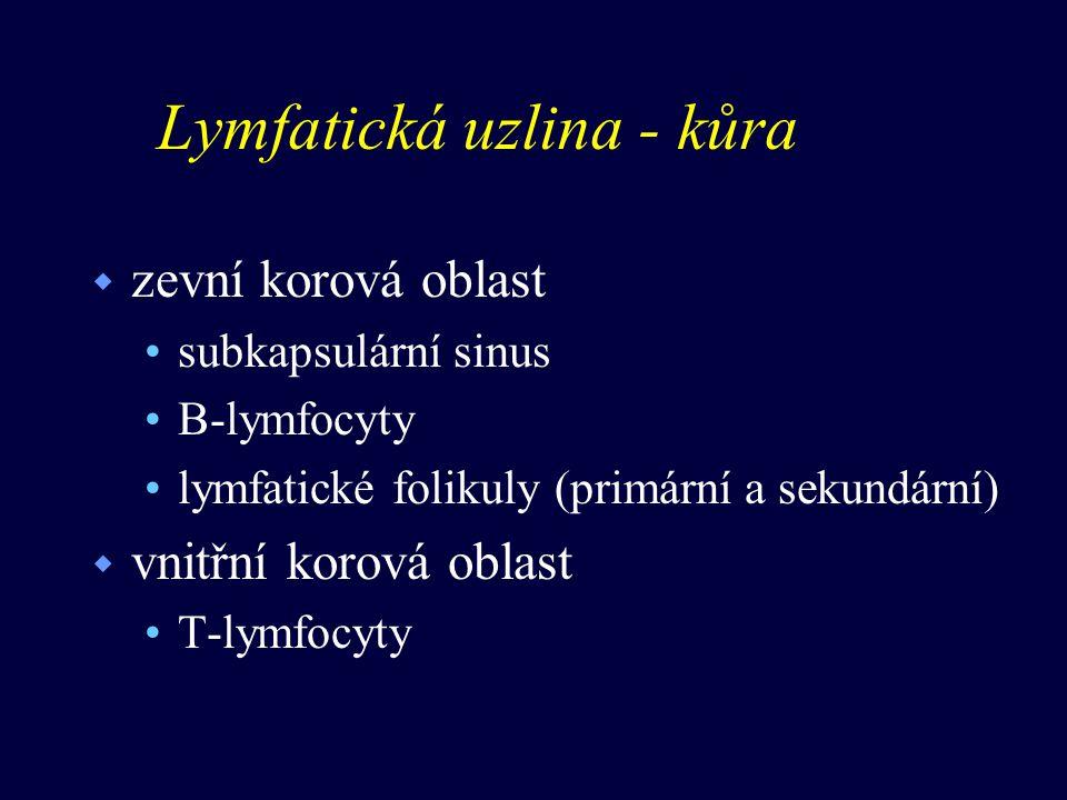 Lymfatická uzlina - kůra w zevní korová oblast subkapsulární sinus B-lymfocyty lymfatické folikuly (primární a sekundární) w vnitřní korová oblast T-lymfocyty