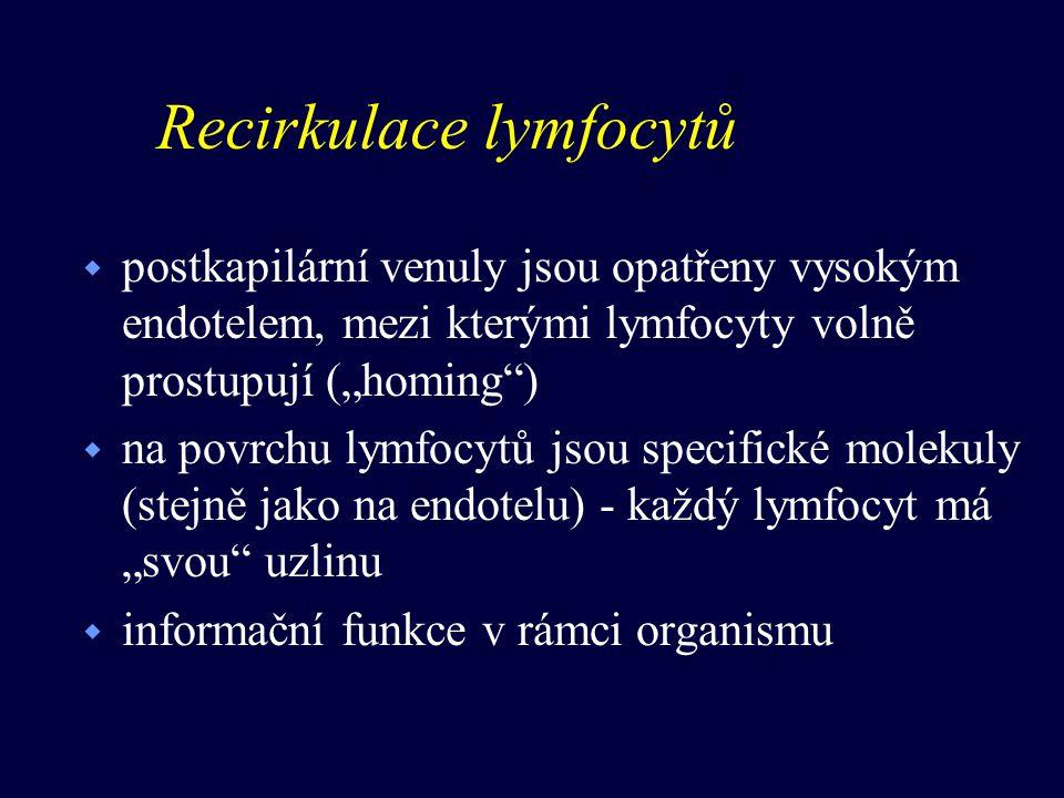 """Recirkulace lymfocytů w postkapilární venuly jsou opatřeny vysokým endotelem, mezi kterými lymfocyty volně prostupují (""""homing ) w na povrchu lymfocytů jsou specifické molekuly (stejně jako na endotelu) - každý lymfocyt má """"svou uzlinu w informační funkce v rámci organismu"""