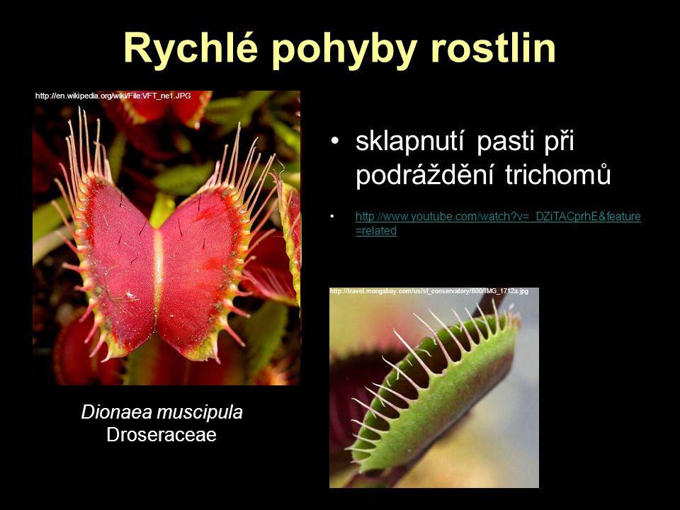 Rychlé pohyby rostlin http://en.wikipedia.org/wiki/File:VFT_ne1.JPG Dionaea muscipula Droseraceae sklapnutí pasti při podráždění trichomů http://www.y