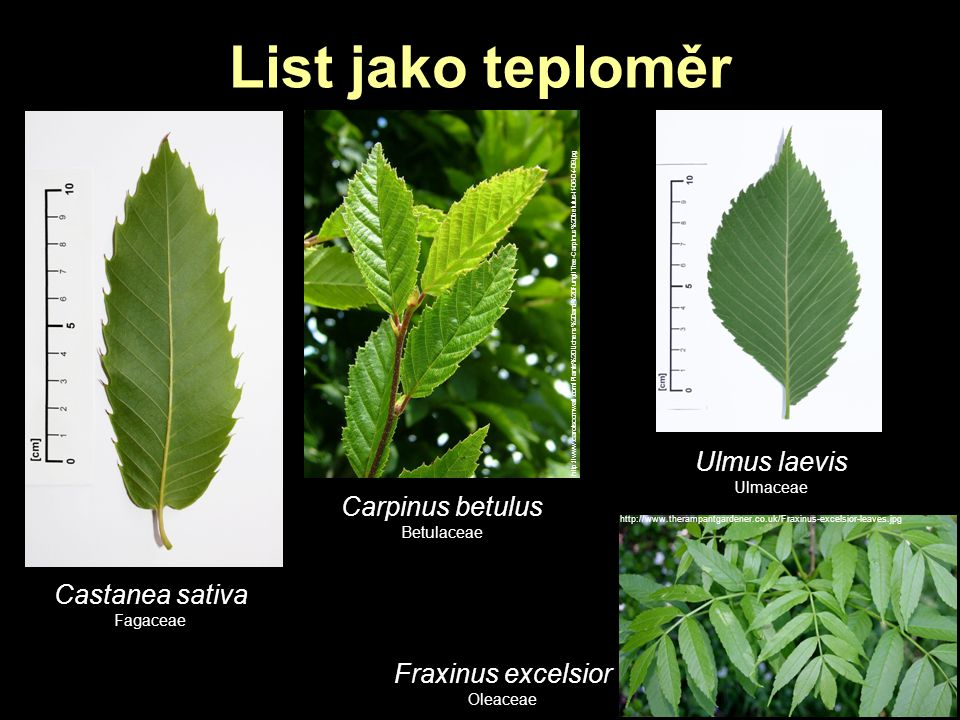List jako teploměr Castanea sativa Fagaceae http://www.carolscornwall.com/Plants%20Lichens%20and%20Fungi/Tree-Carpinus%20betulus-lf-06-04-09.jpg Carpi