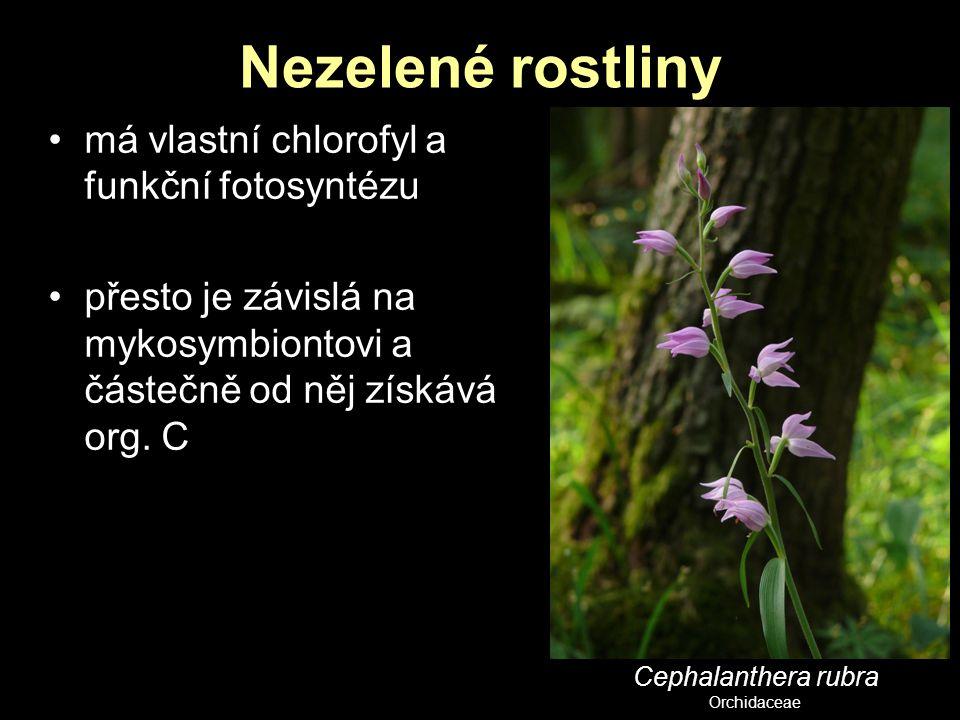 Nezelené rostliny má vlastní chlorofyl a funkční fotosyntézu přesto je závislá na mykosymbiontovi a částečně od něj získává org. C Cephalanthera rubra