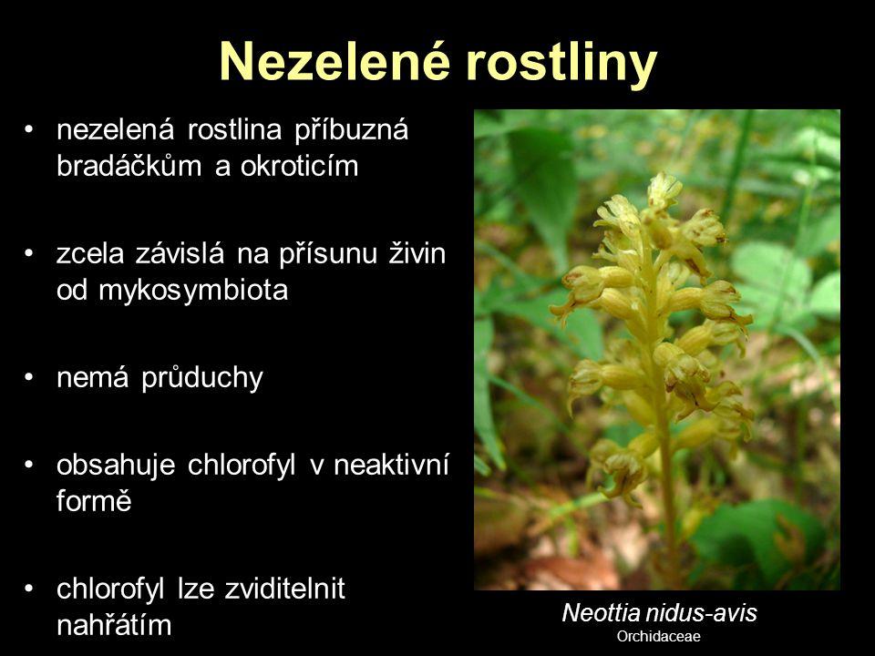 Nezelené rostliny nezelená rostlina příbuzná bradáčkům a okroticím zcela závislá na přísunu živin od mykosymbiota nemá průduchy obsahuje chlorofyl v n