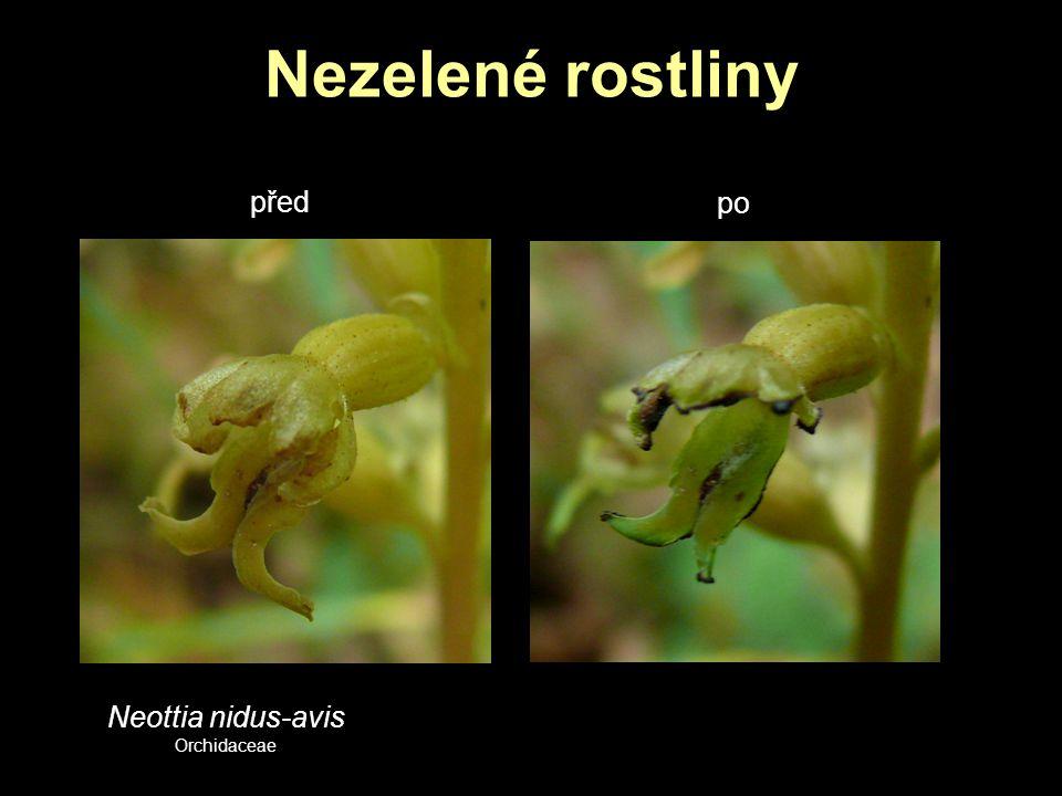 Nezelené rostliny Neottia nidus-avis Orchidaceae před po