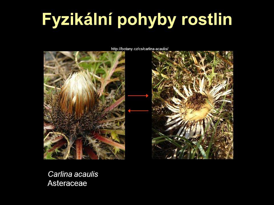 Fyzikální pohyby rostlin http://botany.cz/cs/carlina-acaulis/ Carlina acaulis Asteraceae