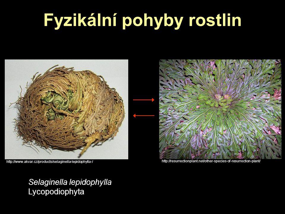 Fyzikální pohyby rostlin Selaginella lepidophylla Lycopodiophyta http://www.akvar.cz/products/selaginella-lepidophylla-/ http://resurrectionplant.net/