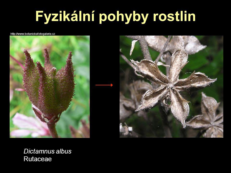Rychlé pohyby rostlin http://en.wikipedia.org/wiki/File:VFT_ne1.JPG Dionaea muscipula Droseraceae sklapnutí pasti při podráždění trichomů http://www.youtube.com/watch?v=_DZiTACprhE&feature =relatedhttp://www.youtube.com/watch?v=_DZiTACprhE&feature =related http://travel.mongabay.com/us/sf_conservatory/600/IMG_1712a.jpg