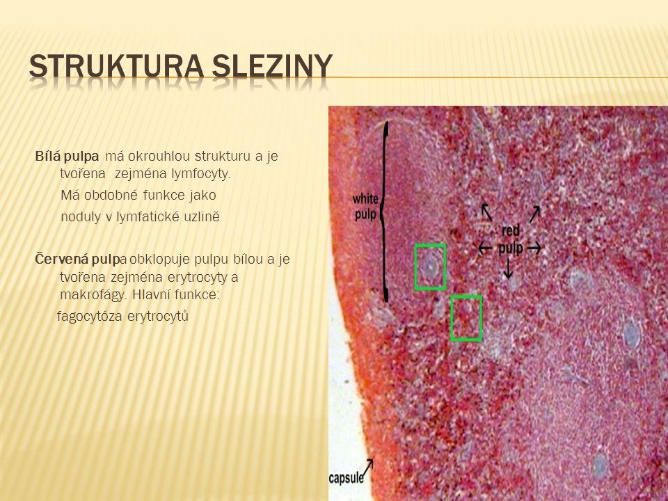 Bílá pulpa má okrouhlou strukturu a je tvořena zejména lymfocyty. Má obdobné funkce jako noduly v lymfatické uzlině Červená pulpa obklopuje pulpu bílo