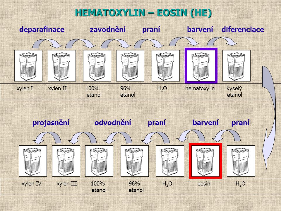 xylen I xylen II 100% 96% H 2 O hematoxylin kyselý etanol etanol etanol xylen IV xylen III 100% 96% H 2 O eosin H 2 O etanol etanol HEMATOXYLIN – EOSIN (HE) deparafinace zavodnění praní barvení diferenciace projasnění odvodnění praní barvení praní