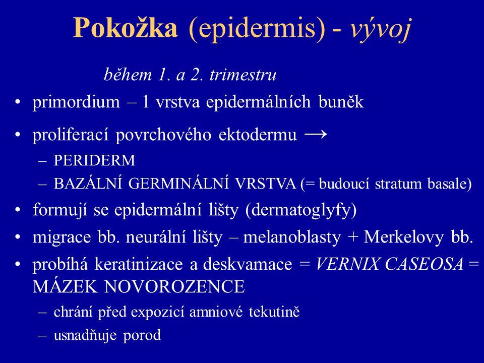 Pokožka (epidermis) - vývoj během 1.a 2.