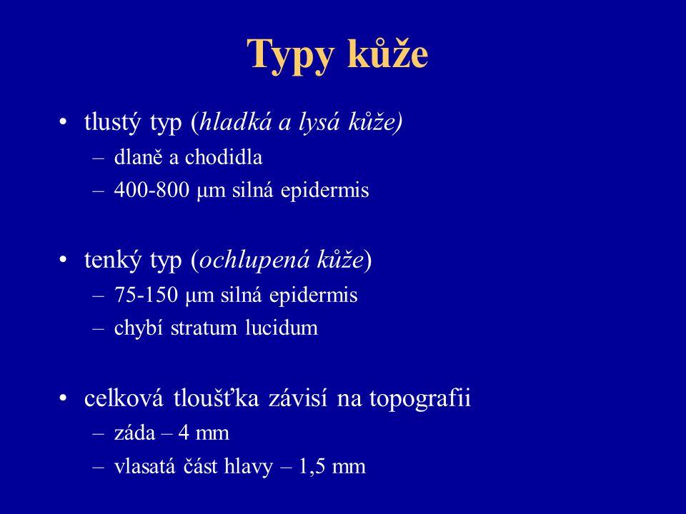 Typy kůže tlustý typ (hladká a lysá kůže) –dlaně a chodidla –400-800 μm silná epidermis tenký typ (ochlupená kůže) –75-150 μm silná epidermis –chybí stratum lucidum celková tloušťka závisí na topografii –záda – 4 mm –vlasatá část hlavy – 1,5 mm