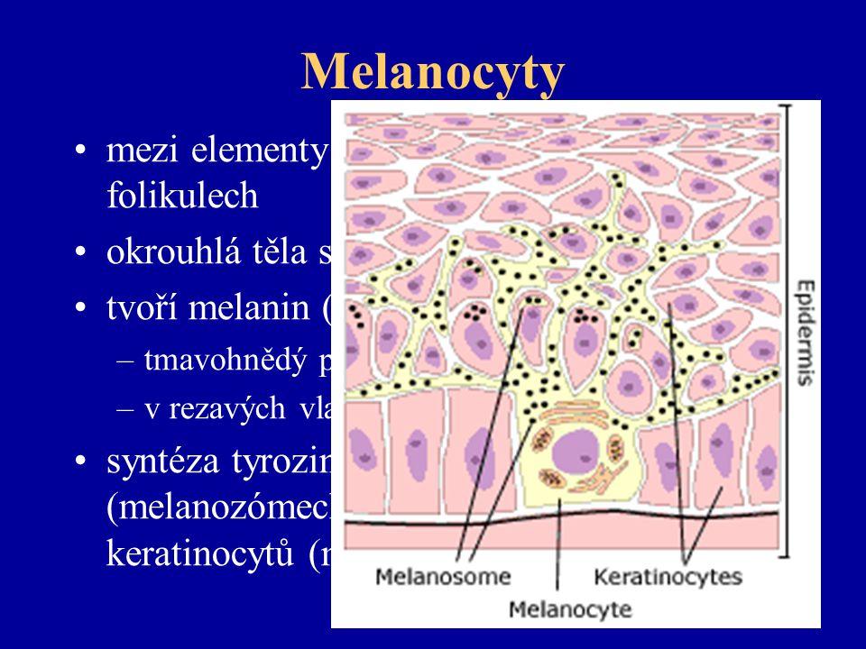 Melanocyty mezi elementy stratum basale, v chlupových folikulech okrouhlá těla s výběžky do epidermis tvoří melanin (eumelanin) –tmavohnědý pigment –v rezavých vlasech feomelanin syntéza tyrozinázy a skladování ve váčcích (melanozómech) injikovaných do keratinocytů (melanoforů)