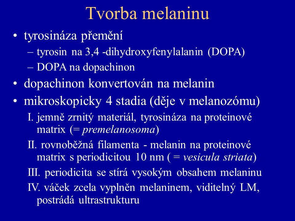 Tvorba melaninu tyrosináza přemění –tyrosin na 3,4 -dihydroxyfenylalanin (DOPA) –DOPA na dopachinon dopachinon konvertován na melanin mikroskopicky 4 stadia (děje v melanozómu) I.