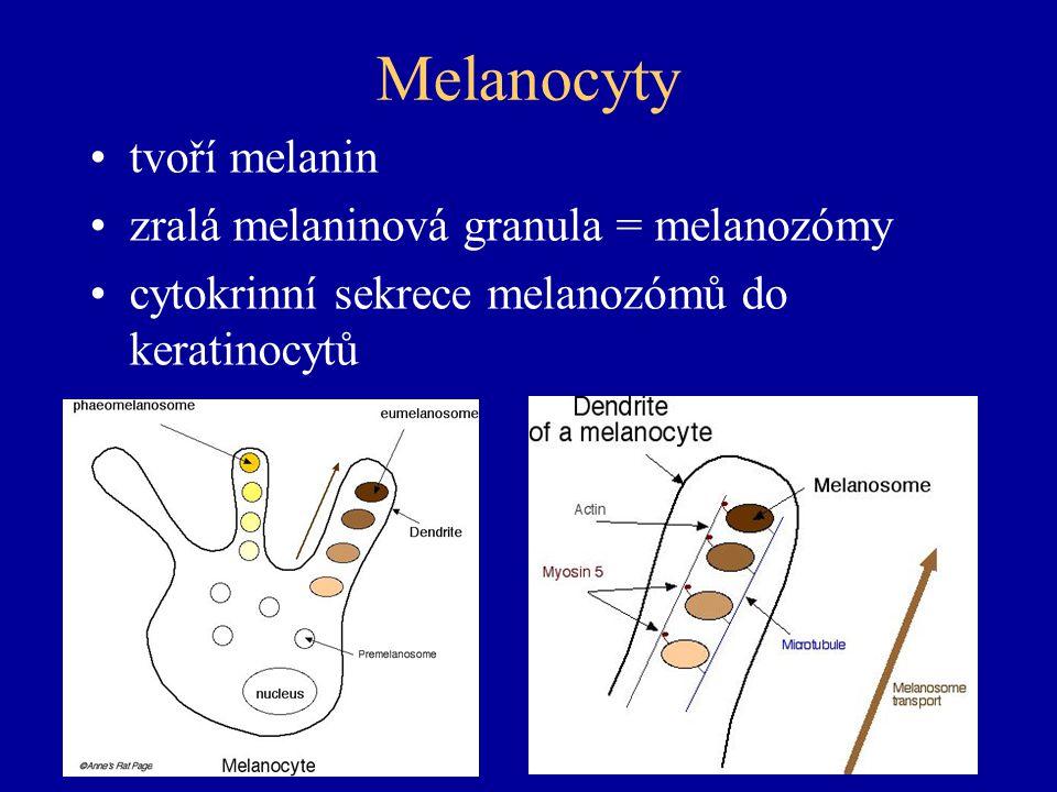 Melanocyty tvoří melanin zralá melaninová granula = melanozómy cytokrinní sekrece melanozómů do keratinocytů