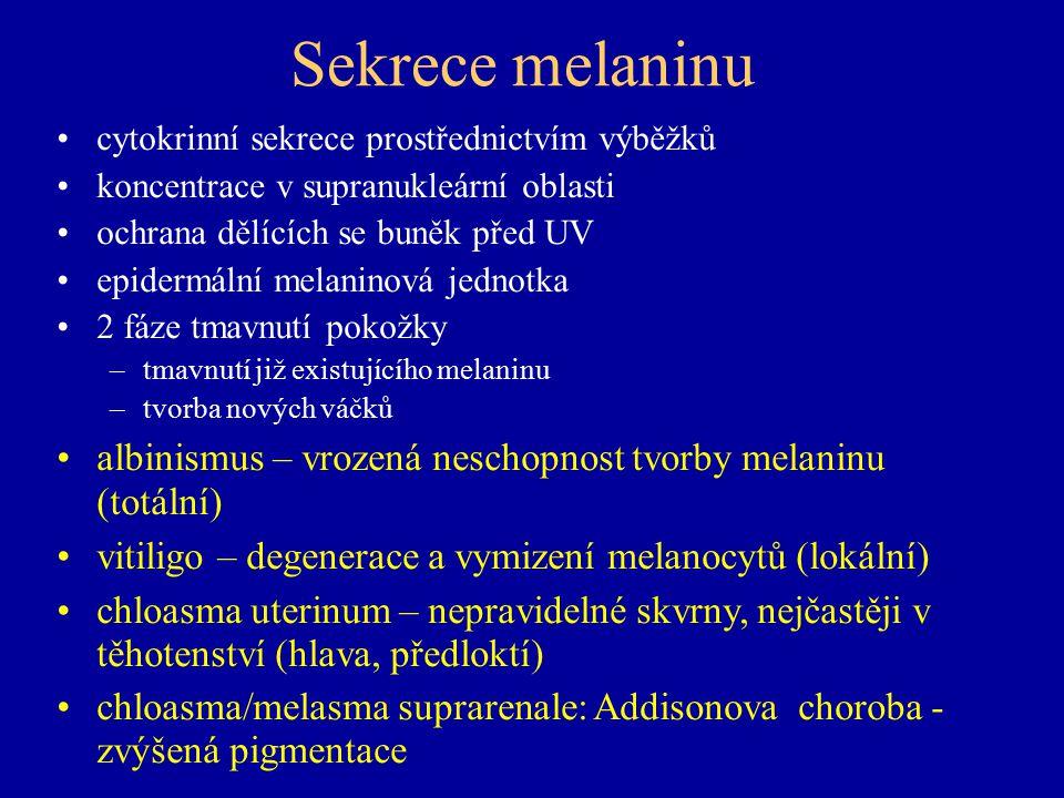 Sekrece melaninu cytokrinní sekrece prostřednictvím výběžků koncentrace v supranukleární oblasti ochrana dělících se buněk před UV epidermální melaninová jednotka 2 fáze tmavnutí pokožky –tmavnutí již existujícího melaninu –tvorba nových váčků albinismus – vrozená neschopnost tvorby melaninu (totální) vitiligo – degenerace a vymizení melanocytů (lokální) chloasma uterinum – nepravidelné skvrny, nejčastěji v těhotenství (hlava, předloktí) chloasma/melasma suprarenale: Addisonova choroba - zvýšená pigmentace