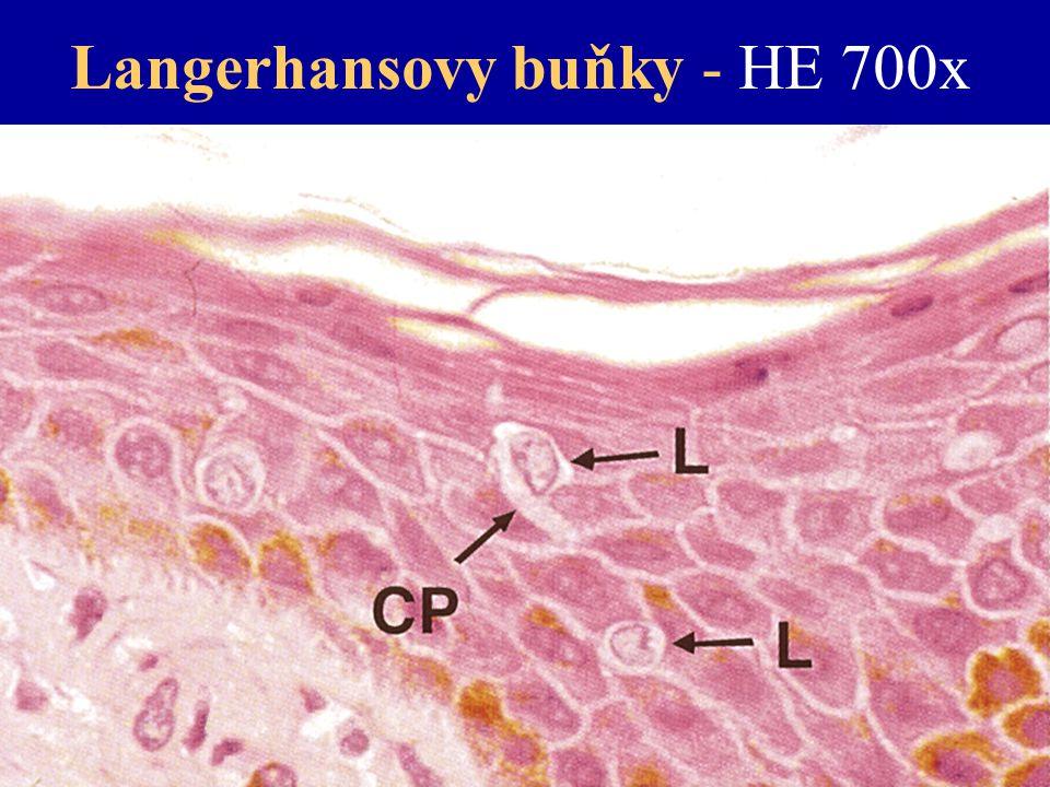 Langerhansovy buňky - HE 700x