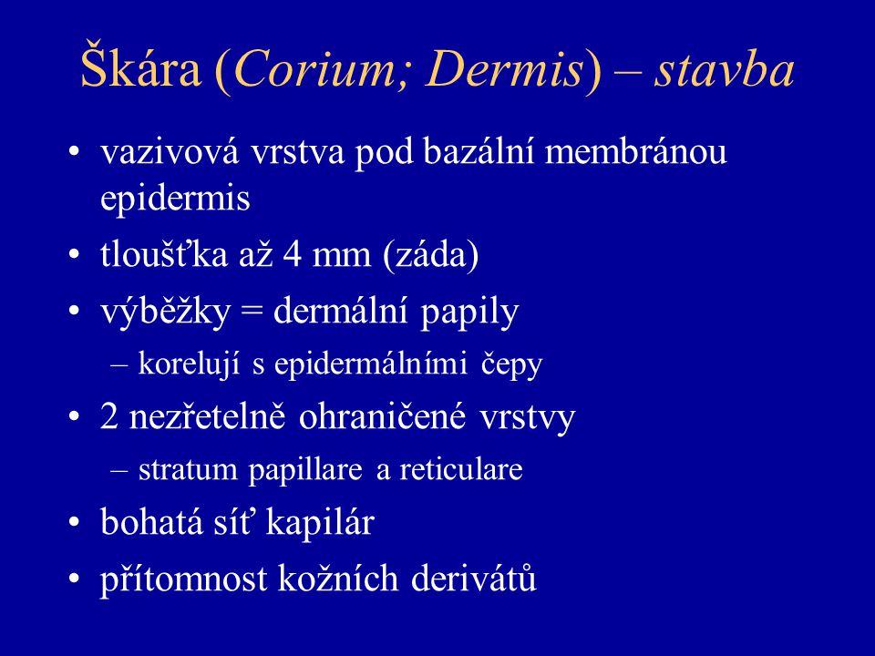 Škára (Corium; Dermis) – stavba vazivová vrstva pod bazální membránou epidermis tloušťka až 4 mm (záda) výběžky = dermální papily –korelují s epidermálními čepy 2 nezřetelně ohraničené vrstvy –stratum papillare a reticulare bohatá síť kapilár přítomnost kožních derivátů
