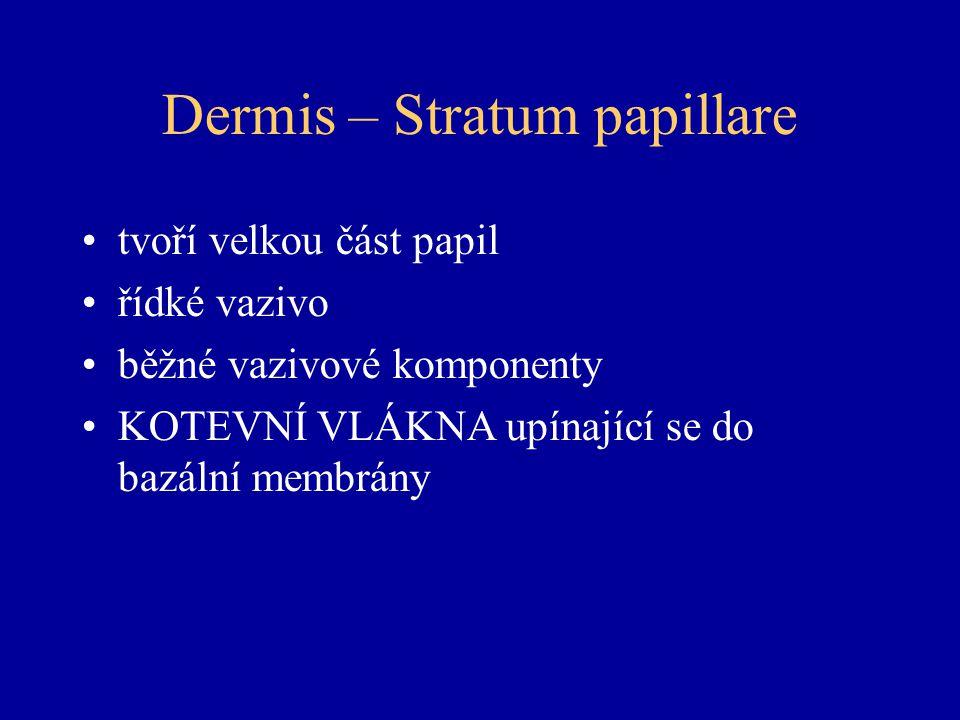 Dermis – Stratum papillare tvoří velkou část papil řídké vazivo běžné vazivové komponenty KOTEVNÍ VLÁKNA upínající se do bazální membrány