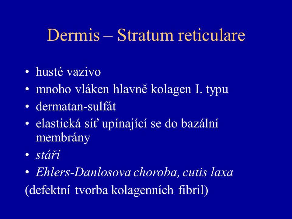 Dermis – Stratum reticulare husté vazivo mnoho vláken hlavně kolagen I.