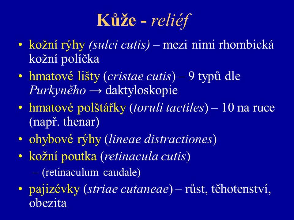 Kůže - reliéf kožní rýhy (sulci cutis) – mezi nimi rhombická kožní políčka hmatové lišty (cristae cutis) – 9 typů dle Purkyněho → daktyloskopie hmatové polštářky (toruli tactiles) – 10 na ruce (např.