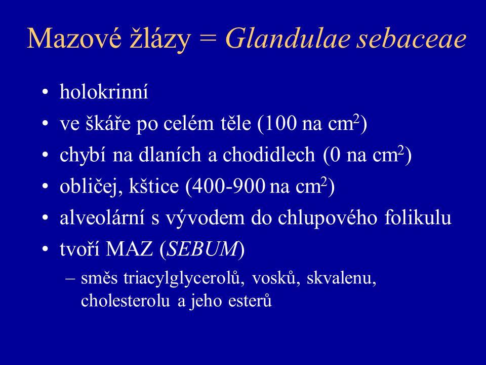 Mazové žlázy = Glandulae sebaceae holokrinní ve škáře po celém těle (100 na cm 2 ) chybí na dlaních a chodidlech (0 na cm 2 ) obličej, kštice (400-900 na cm 2 ) alveolární s vývodem do chlupového folikulu tvoří MAZ (SEBUM) –směs triacylglycerolů, vosků, skvalenu, cholesterolu a jeho esterů