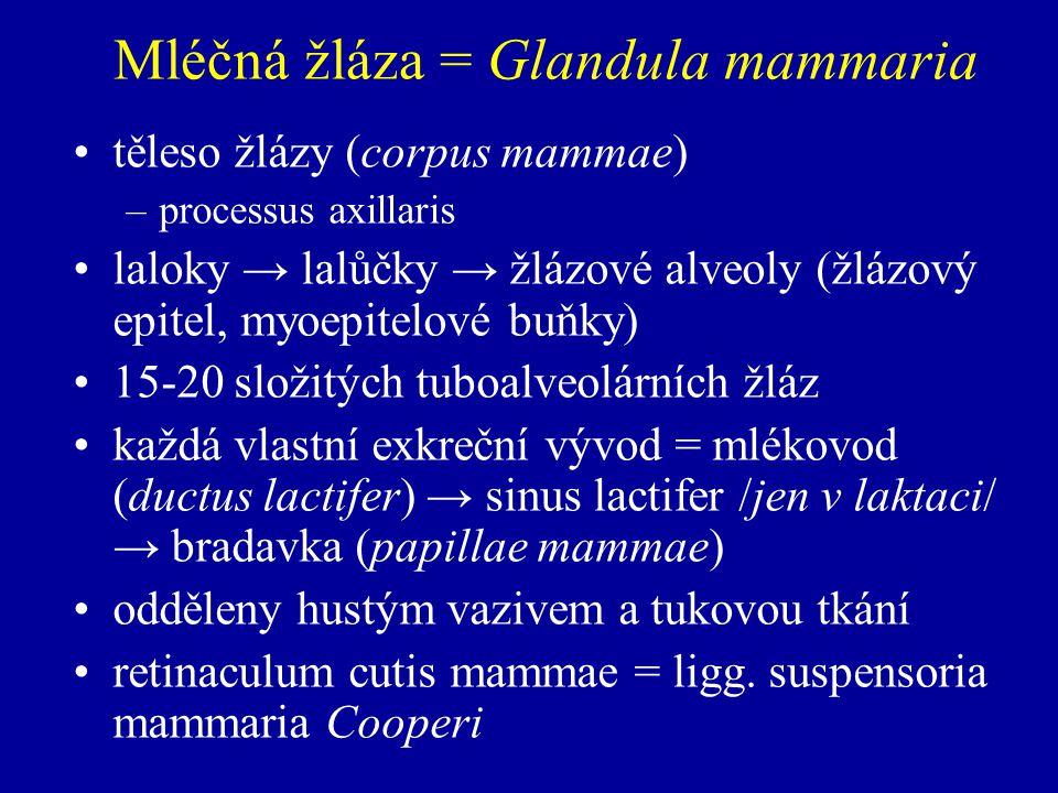 Mléčná žláza = Glandula mammaria těleso žlázy (corpus mammae) –processus axillaris laloky → lalůčky → žlázové alveoly (žlázový epitel, myoepitelové buňky) 15-20 složitých tuboalveolárních žláz každá vlastní exkreční vývod = mlékovod (ductus lactifer) → sinus lactifer /jen v laktaci/ → bradavka (papillae mammae) odděleny hustým vazivem a tukovou tkání retinaculum cutis mammae = ligg.