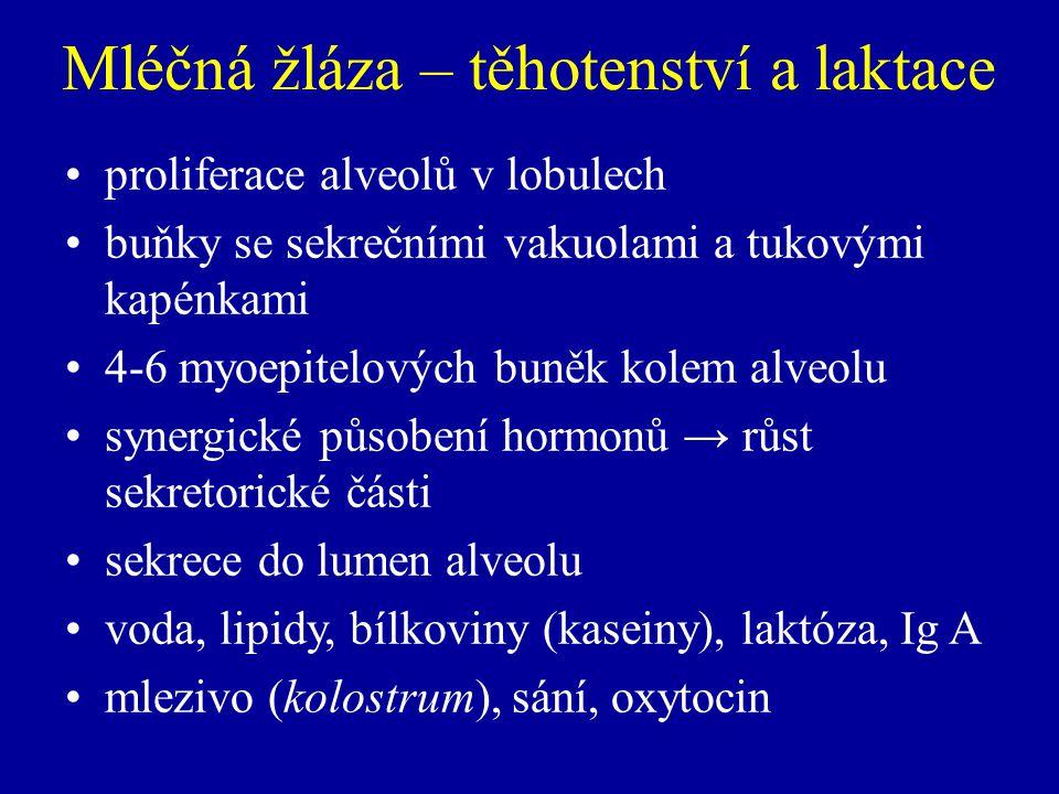 Mléčná žláza – těhotenství a laktace proliferace alveolů v lobulech buňky se sekrečními vakuolami a tukovými kapénkami 4-6 myoepitelových buněk kolem alveolu synergické působení hormonů → růst sekretorické části sekrece do lumen alveolu voda, lipidy, bílkoviny (kaseiny), laktóza, Ig A mlezivo (kolostrum), sání, oxytocin