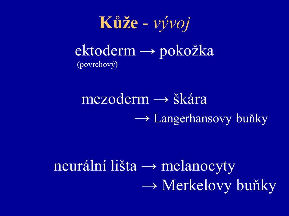 Kůže - vývoj ektoderm → pokožka (povrchový) mezoderm → škára → Langerhansovy buňky neurální lišta → melanocyty → Merkelovy buňky