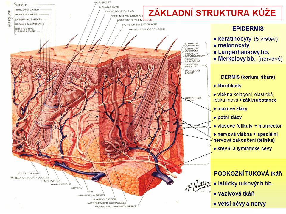 kořen nehtu ploténka volný okraj nehtu nehtová ploténka kořen nehtu Struktura nehtu