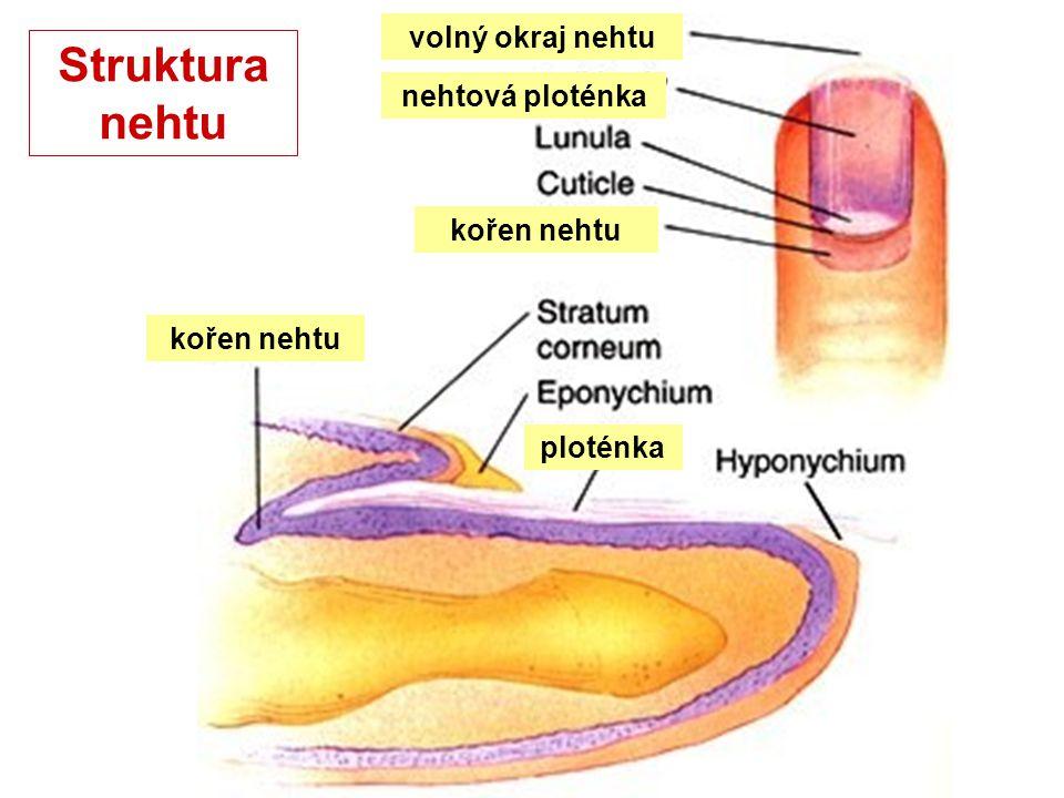 dřeňkůra vnitřní epitelová pochva zevní epitel.pochva vrstva pojivové tkáně dermální papila dělící se buňky ● dětský velusový vlas je v pubertě pod vlivem sexuálních hormonů nahrazen pevným, pružným a tažným terminálním vlasem (u mužů 90% folikulů na těle, u žen jen 35% folikulů, ostatní tvoří velusový vlas).