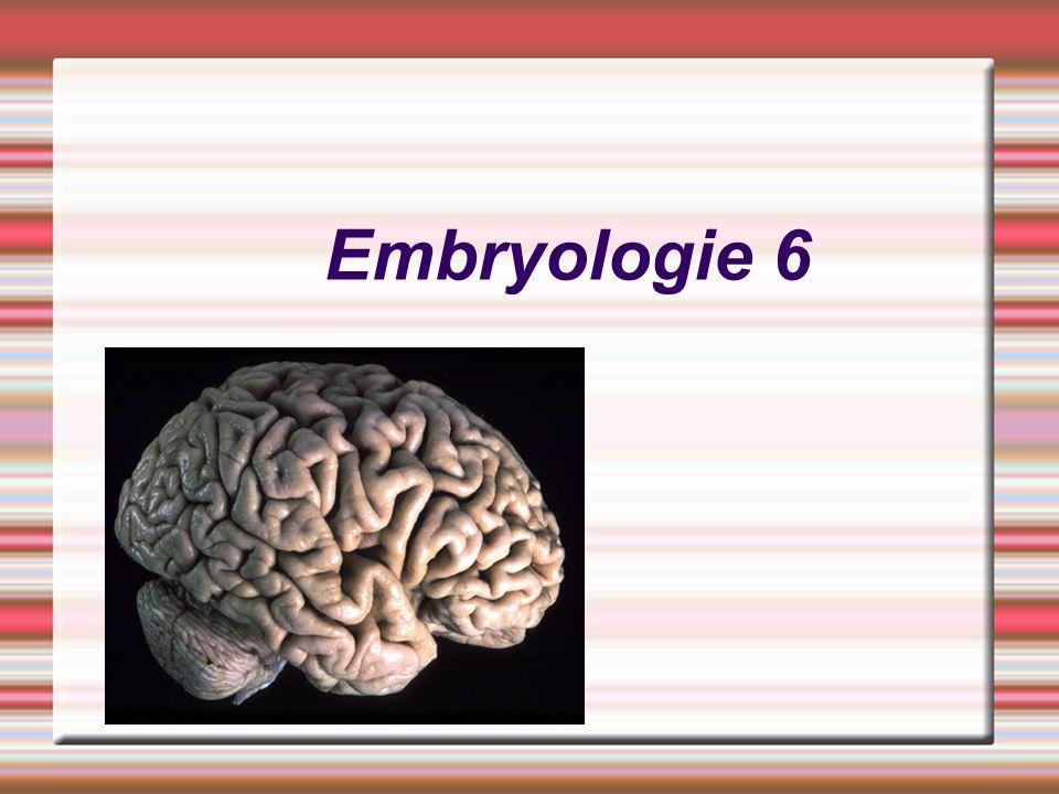 Vývoj periferního nervového systému Motorické nervy – Ramus dorsalis – epimera Ramus ventralis – hypomera Sensitivní nervy – rostou pomaleji – podél motorických vláken Segmentální distribuce motorické a sensitivní innervace