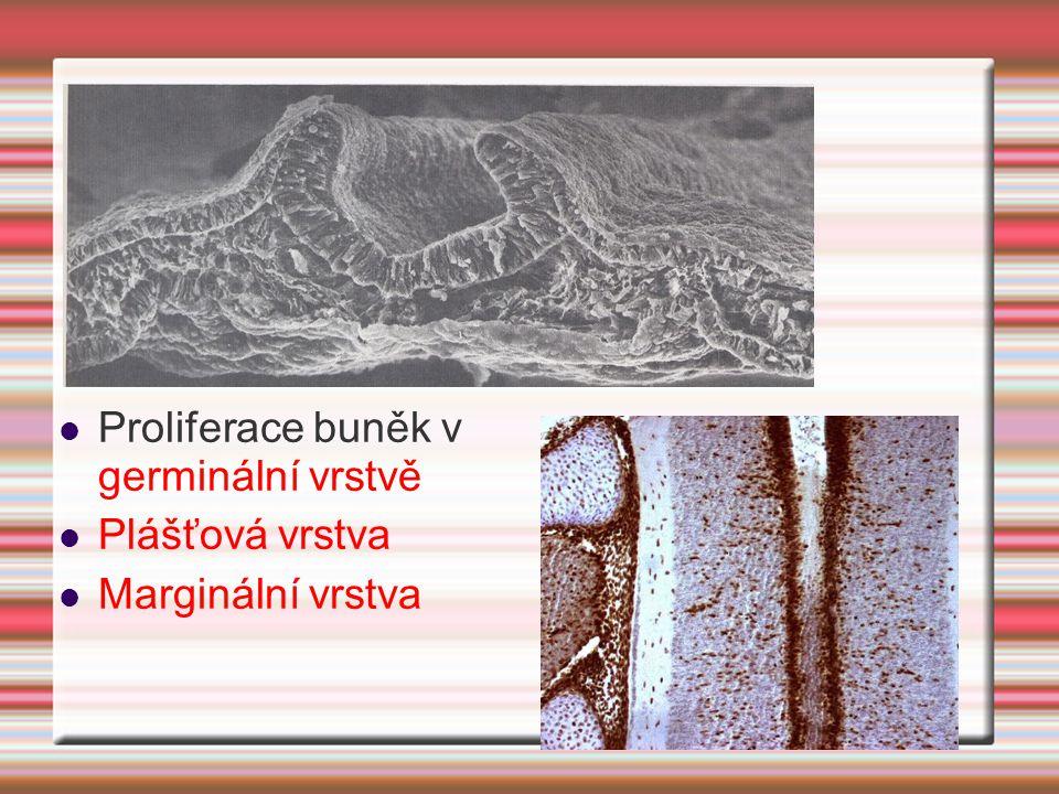 Proliferace buněk v germinální vrstvě Plášťová vrstva Marginální vrstva