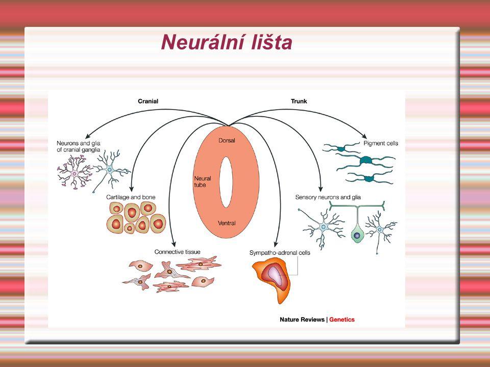 Neurální lišta