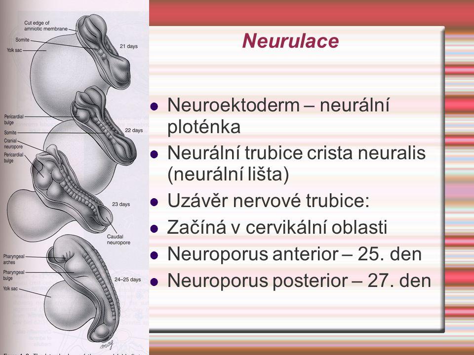 Neurulace Neuroektoderm – neurální ploténka Neurální trubice crista neuralis (neurální lišta) Uzávěr nervové trubice: Začíná v cervikální oblasti Neur