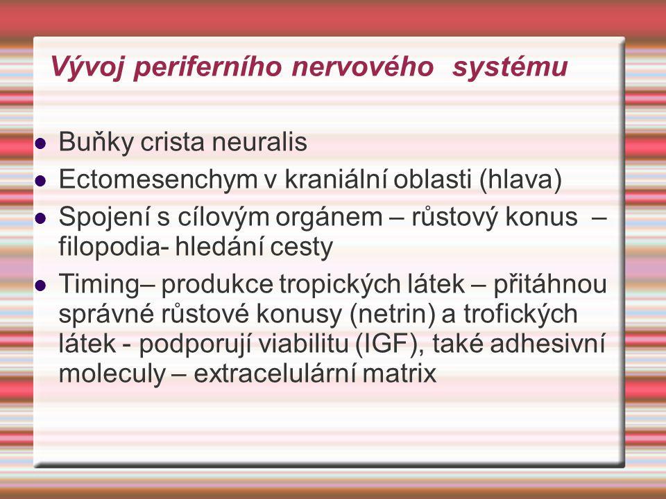 Vývoj periferního nervového systému Buňky crista neuralis Ectomesenchym v kraniální oblasti (hlava) Spojení s cílovým orgánem – růstový konus – filopo
