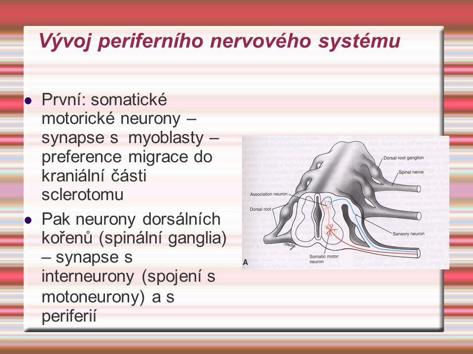 Vývoj periferního nervového systému První: somatické motorické neurony – synapse s myoblasty – preference migrace do kraniální části sclerotomu Pak ne